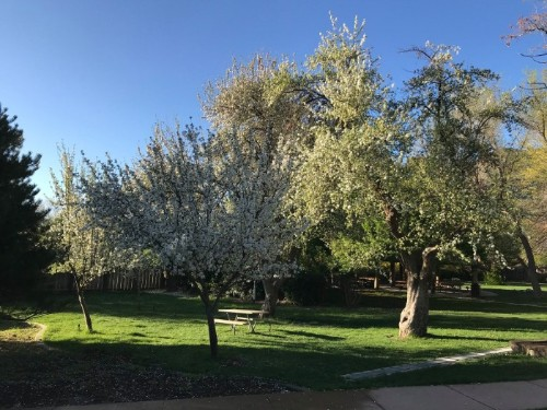 Apple trees in bloom at Mormon Station State Historic Park