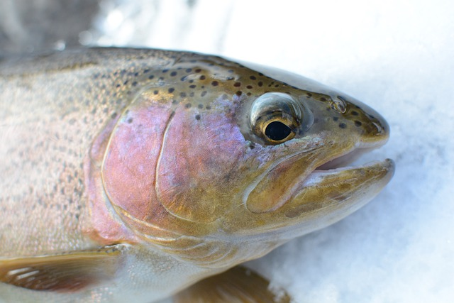 close up of rainbow trout head