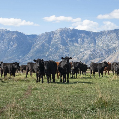 bently ranch cattle