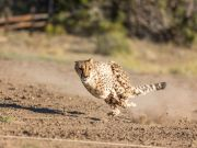 Animal Ark Wildlife Sanctuary, Cheetah 500